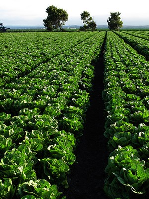 Field of Romaine lettuce, Salinas